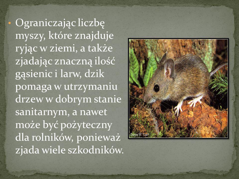 Ograniczając liczbę myszy, które znajduje ryjąc w ziemi, a także zjadając znaczną ilość gąsienic i larw, dzik pomaga w utrzymaniu drzew w dobrym stanie sanitarnym, a nawet może być pożyteczny dla rolników, ponieważ zjada wiele szkodników.