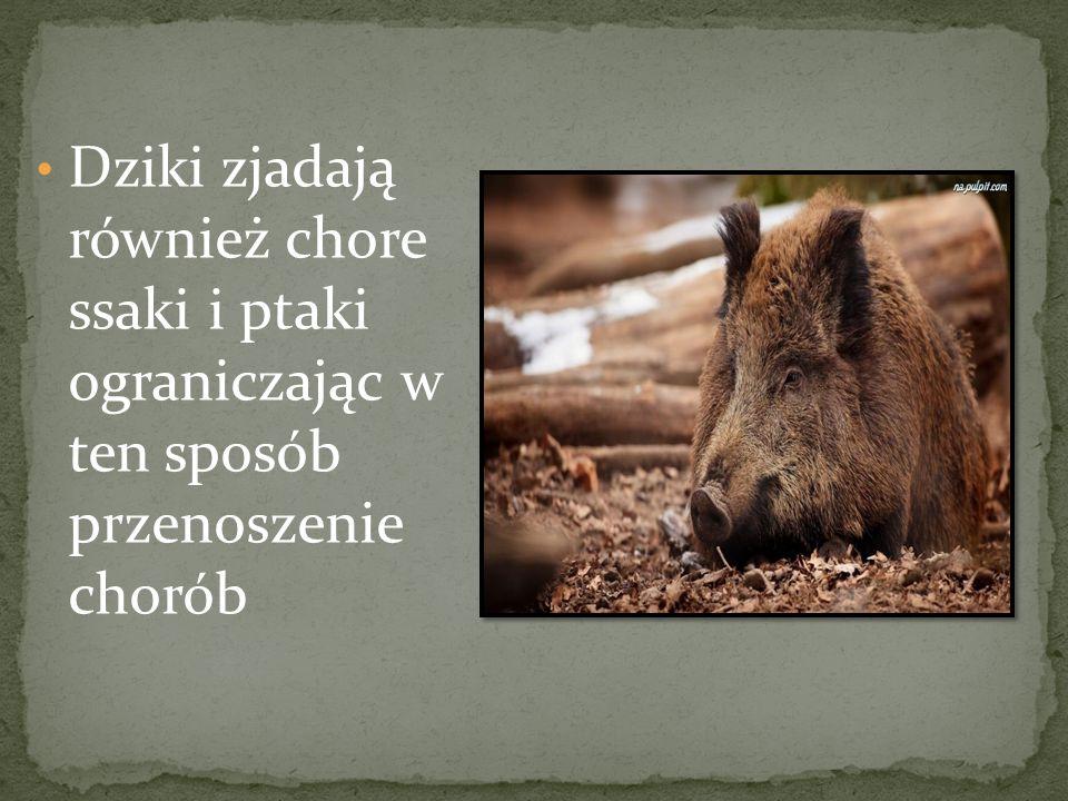 Dziki zjadają również chore ssaki i ptaki ograniczając w ten sposób przenoszenie chorób
