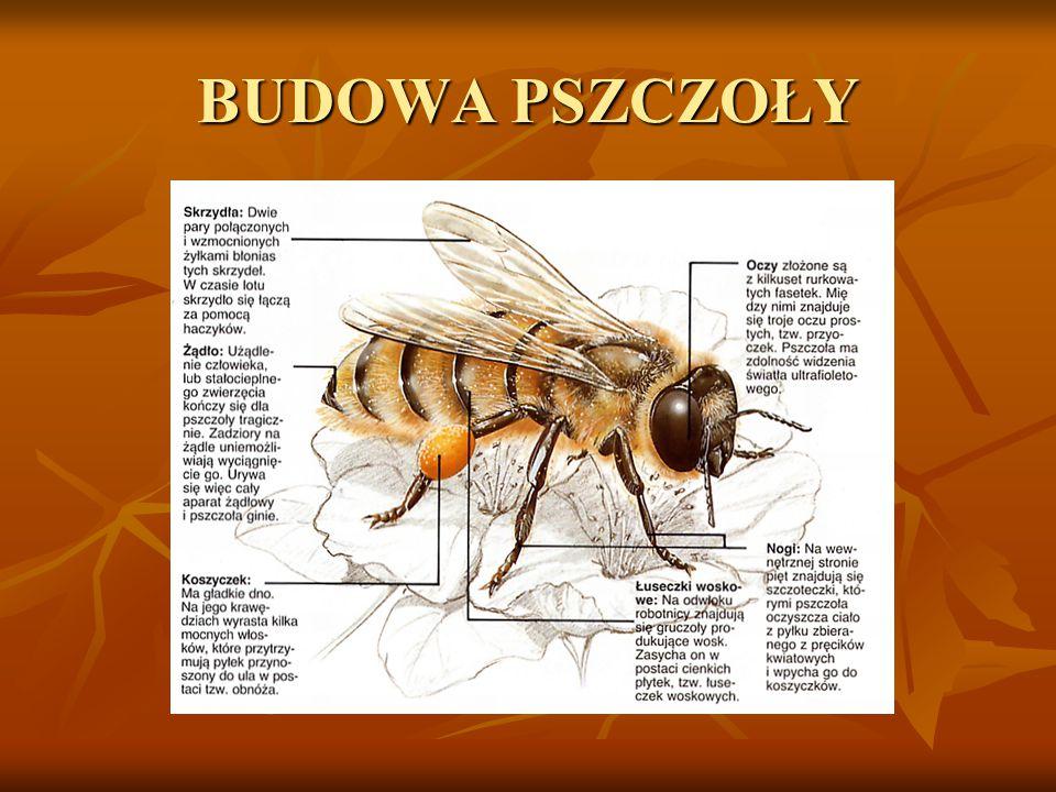Apis mają długość ciała od 7-8 mm do 16-18 mm. Mają ubarwienie o różnej intensywności – od jednolicie czarnego i ciemnobrązowego do żółtego i czerwono