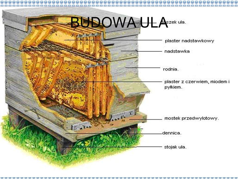 Rodzina Pszczołowatych Na ca ł ym ś wiecie do wielkiej i bardzo po ż ytecznej grupy pszczo ł owatych nale ż y ponad 20 000 gatunków owadów. Krewni naj