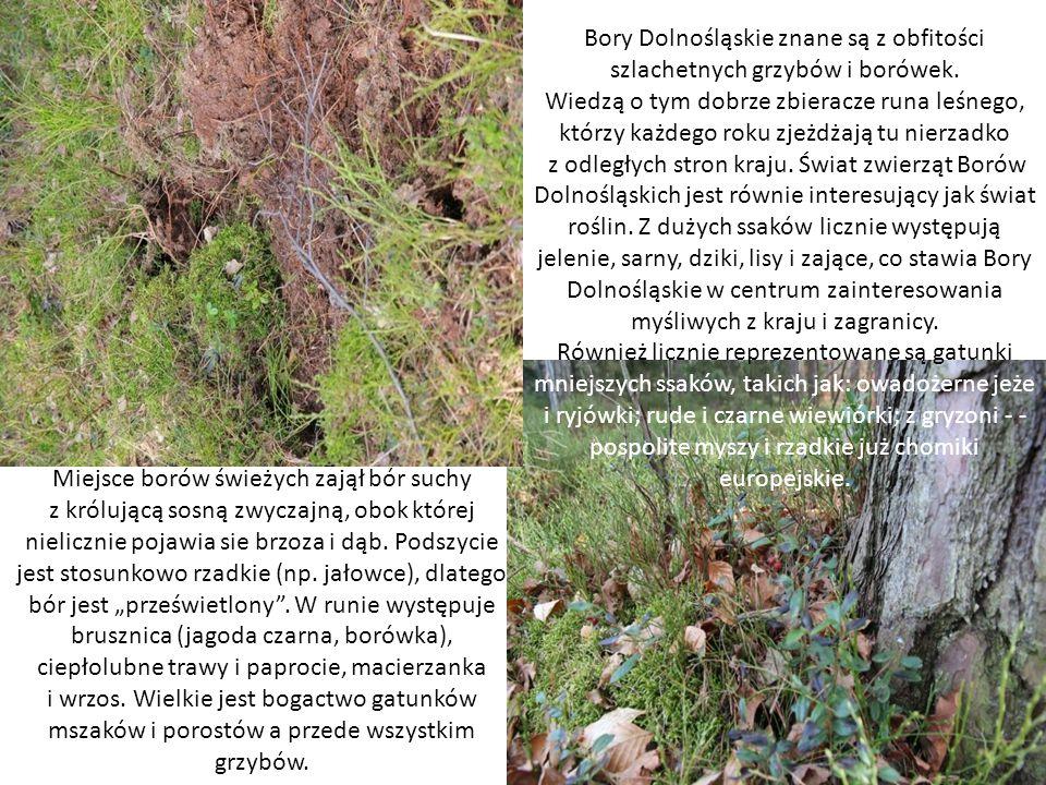 Bory Dolnośląskie znane są z obfitości szlachetnych grzybów i borówek.