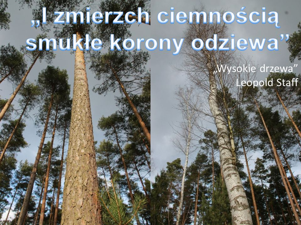 """""""Wysokie drzewa"""" Leopold Staff"""