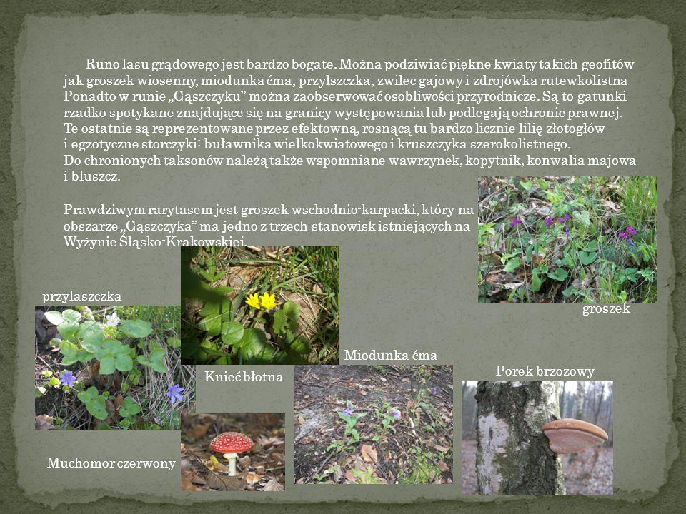 """Dominujące gatunki drzewostanu występującego w """"Gąszczyku"""" to głównie: grab oraz lipa drobnolistna Występują tam także: dąb szypółkowaty, buk zwyczajn"""