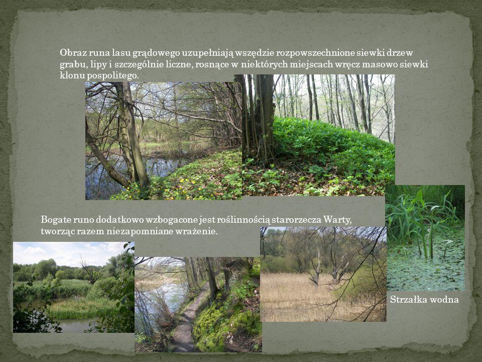 Runo lasu grądowego jest bardzo bogate. Można podziwiać piękne kwiaty takich geofitów jak groszek wiosenny, miodunka ćma, przylszczka, zwilec gajowy i