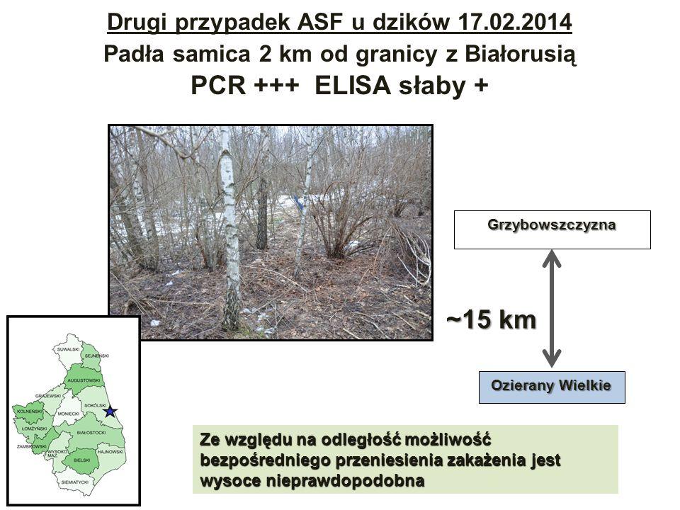 Drugi przypadek ASF u dzików 17.02.2014 Padła samica 2 km od granicy z Białorusią PCR +++ ELISA słaby +Grzybowszczyzna Ozierany Wielkie ~15 km Ze względu na odległość możliwość bezpośredniego przeniesienia zakażenia jest wysoce nieprawdopodobna