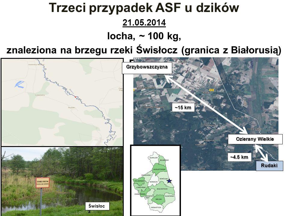 Trzeci przypadek ASF u dzików 21.05.2014 locha, ~ 100 kg, znaleziona na brzegu rzeki Świsłocz (granica z Białorusią) PCR +++, ELISA +/-; IPT + Grzybowszczyzna Ozierany Wielkie Rudaki ~15 km ~4.5 km Świsłoc z