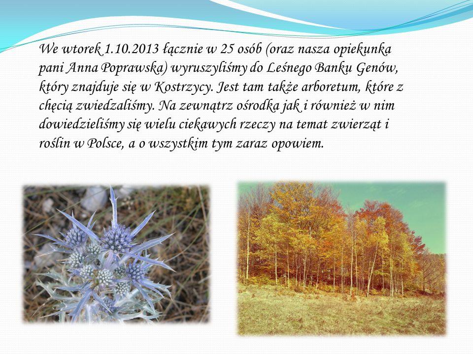 We wtorek 1.10.2013 łącznie w 25 osób (oraz nasza opiekunka pani Anna Poprawska) wyruszyliśmy do Leśnego Banku Genów, który znajduje się w Kostrzycy.