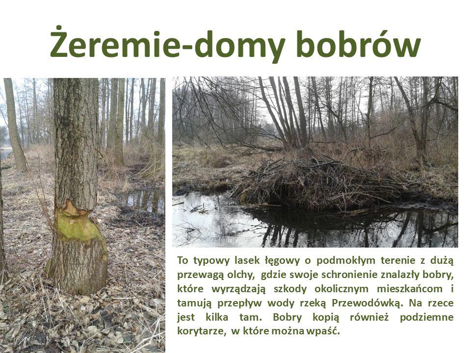 Żeremie-domy bobrów To typowy lasek łęgowy o podmokłym terenie z dużą przewagą olchy, gdzie swoje schronienie znalazły bobry, które wyrządzają szkody