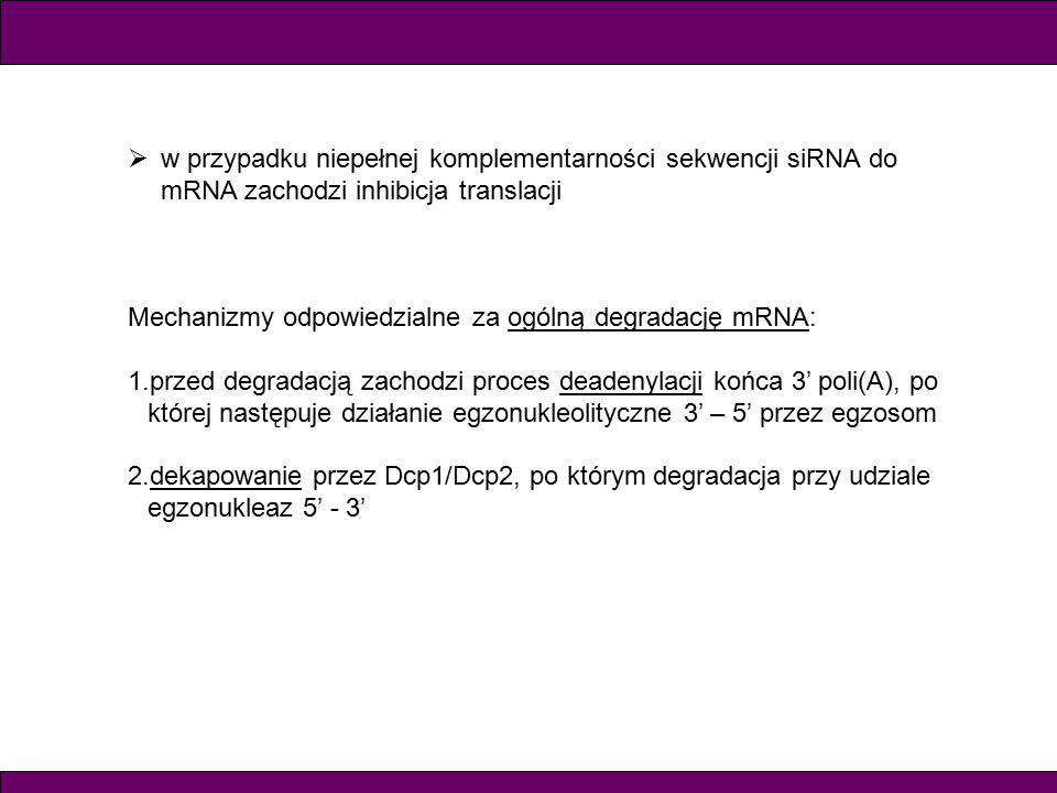  w przypadku niepełnej komplementarności sekwencji siRNA do mRNA zachodzi inhibicja translacji Mechanizmy odpowiedzialne za ogólną degradację mRNA: 1.przed degradacją zachodzi proces deadenylacji końca 3' poli(A), po której następuje działanie egzonukleolityczne 3' – 5' przez egzosom 2.dekapowanie przez Dcp1/Dcp2, po którym degradacja przy udziale egzonukleaz 5' - 3'
