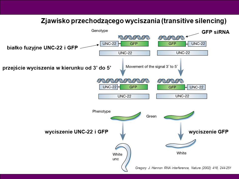 Gregory J. Hannon RNA interference, Nature (2002) 418, 244-251 Zjawisko przechodzącego wyciszania (transitive silencing) białko fuzyjne UNC-22 i GFP p