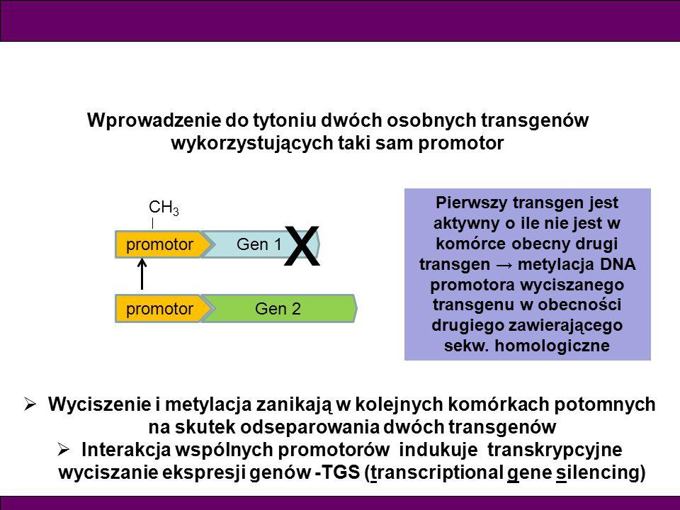 Wprowadzenie do tytoniu dwóch osobnych transgenów wykorzystujących taki sam promotor promotorGen 1 promotorGen 2 x  Wyciszenie i metylacja zanikają w kolejnych komórkach potomnych na skutek odseparowania dwóch transgenów  Interakcja wspólnych promotorów indukuje transkrypcyjne wyciszanie ekspresji genów -TGS (transcriptional gene silencing) Pierwszy transgen jest aktywny o ile nie jest w komórce obecny drugi transgen → metylacja DNA promotora wyciszanego transgenu w obecności drugiego zawierającego sekw.