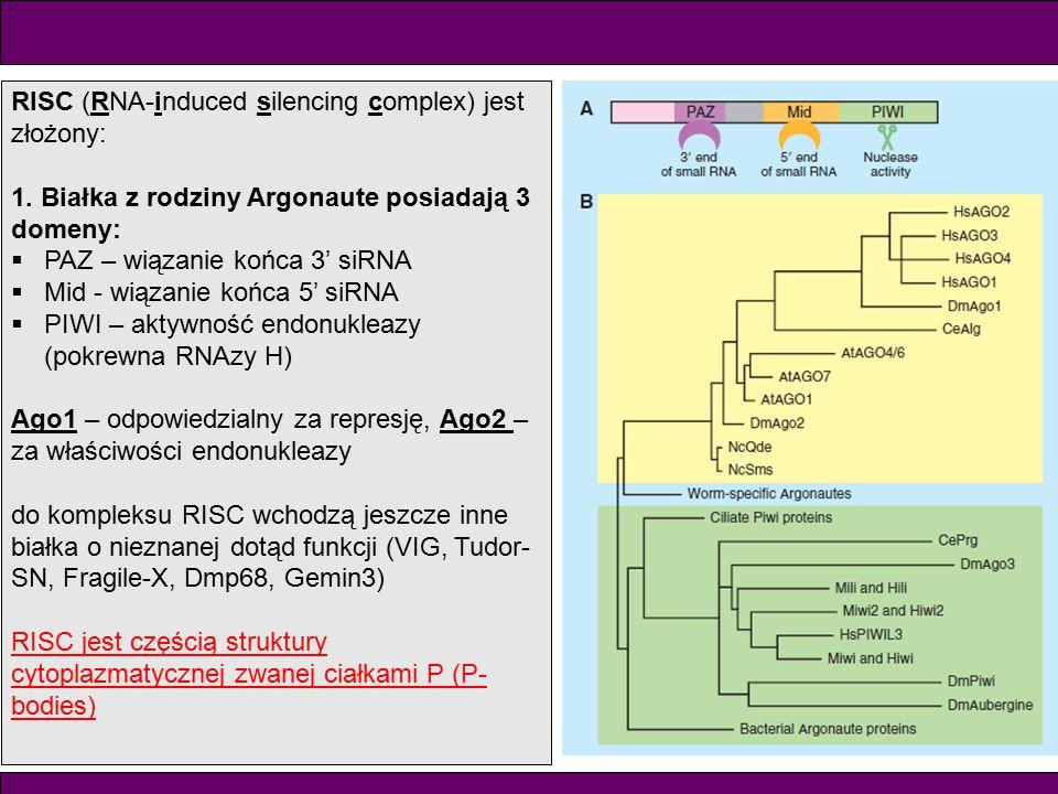 RISC (RNA-induced silencing complex) jest złożony: 1. Białka z rodziny Argonaute posiadają 3 domeny:  PAZ – wiązanie końca 3' siRNA  Mid - wiązanie