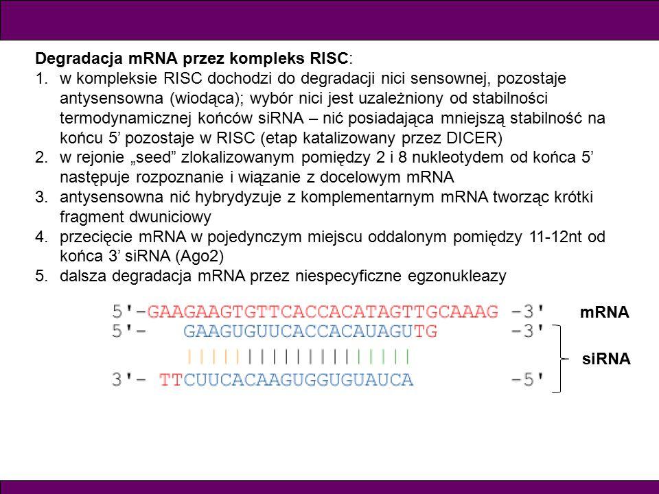 """Degradacja mRNA przez kompleks RISC: 1.w kompleksie RISC dochodzi do degradacji nici sensownej, pozostaje antysensowna (wiodąca); wybór nici jest uzależniony od stabilności termodynamicznej końców siRNA – nić posiadająca mniejszą stabilność na końcu 5' pozostaje w RISC (etap katalizowany przez DICER) 2.w rejonie """"seed zlokalizowanym pomiędzy 2 i 8 nukleotydem od końca 5' następuje rozpoznanie i wiązanie z docelowym mRNA 3.antysensowna nić hybrydyzuje z komplementarnym mRNA tworząc krótki fragment dwuniciowy 4.przecięcie mRNA w pojedynczym miejscu oddalonym pomiędzy 11-12nt od końca 3' siRNA (Ago2) 5.dalsza degradacja mRNA przez niespecyficzne egzonukleazy siRNA mRNA"""