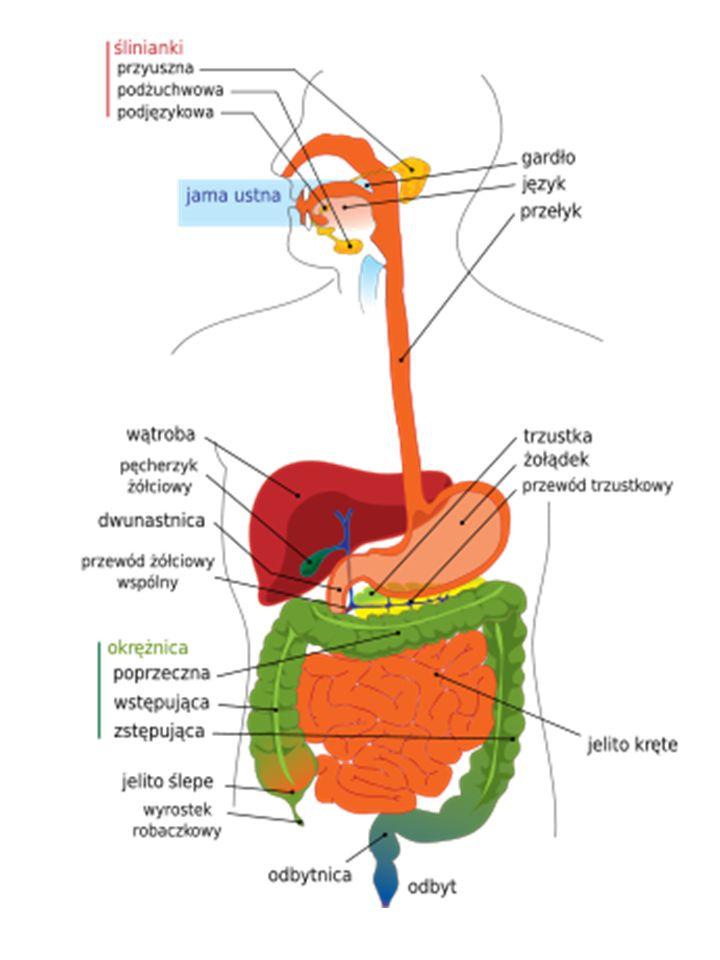 Wątroba: płaty: prawy lewy czworoboczny ogoniasty