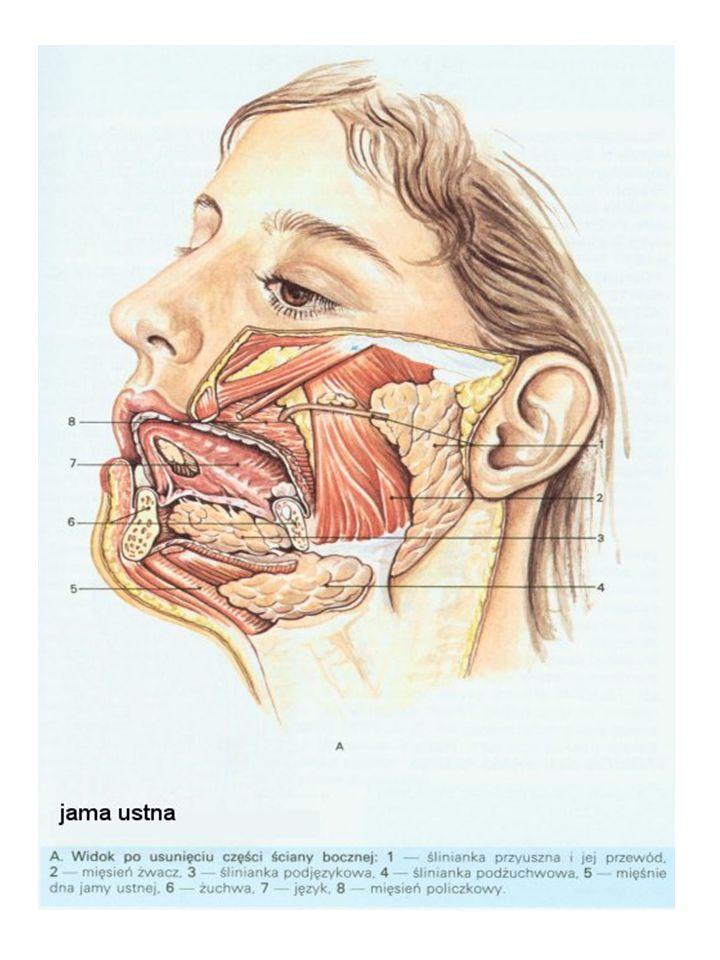 Dorosły człowiek ma 32 zęby, 16 w szczęce i 16 w żuchwie 4 siekacze 2 kły 4 zęby przedtrzonowe 6 trzonowych U dzieci: 20 zębów mlecznych (brak trzonowych).