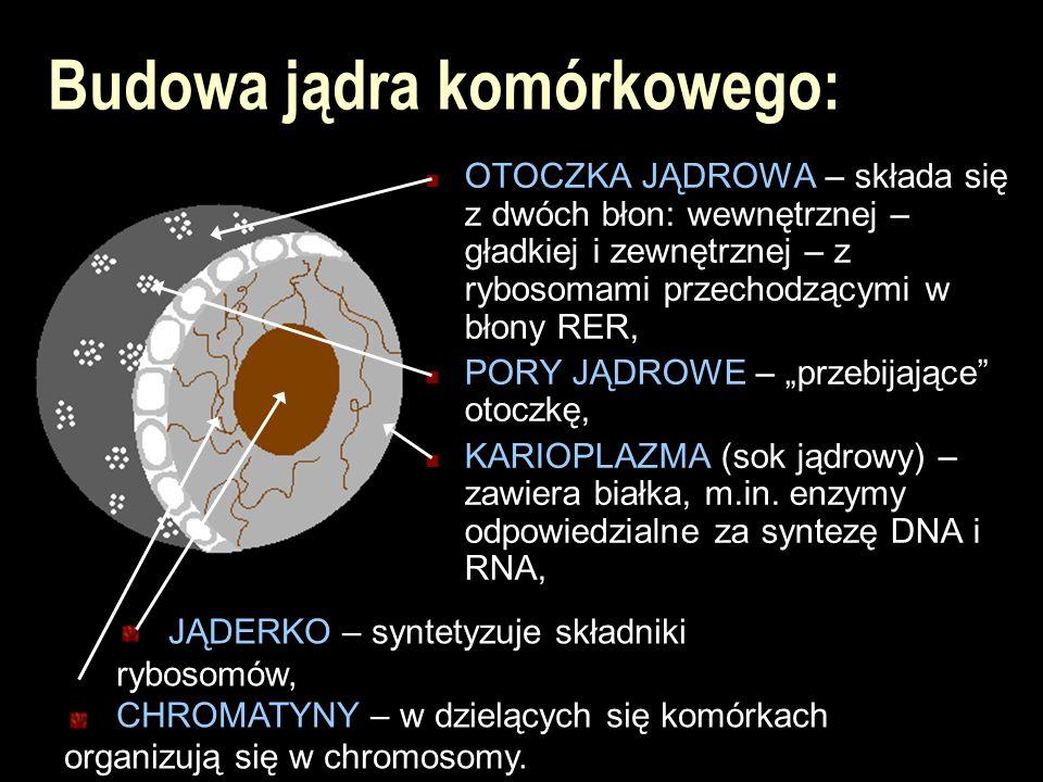 Budowa jądra komórkowego: OTOCZKA JĄDROWA – składa się z dwóch błon: wewnętrznej – gładkiej i zewnętrznej – z rybosomami przechodzącymi w błony RER, P