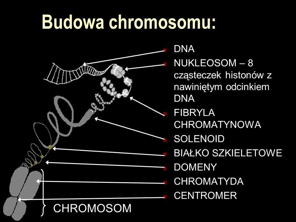 Budowa chromosomu: DNA NUKLEOSOM – 8 cząsteczek histonów z nawiniętym odcinkiem DNA FIBRYLA CHROMATYNOWA SOLENOID BIAŁKO SZKIELETOWE DOMENY CHROMATYDA