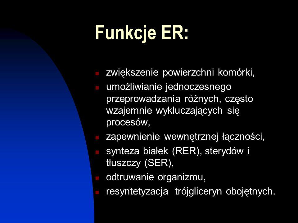 Funkcje ER: zwiększenie powierzchni komórki, umożliwianie jednoczesnego przeprowadzania różnych, często wzajemnie wykluczających się procesów, zapewni