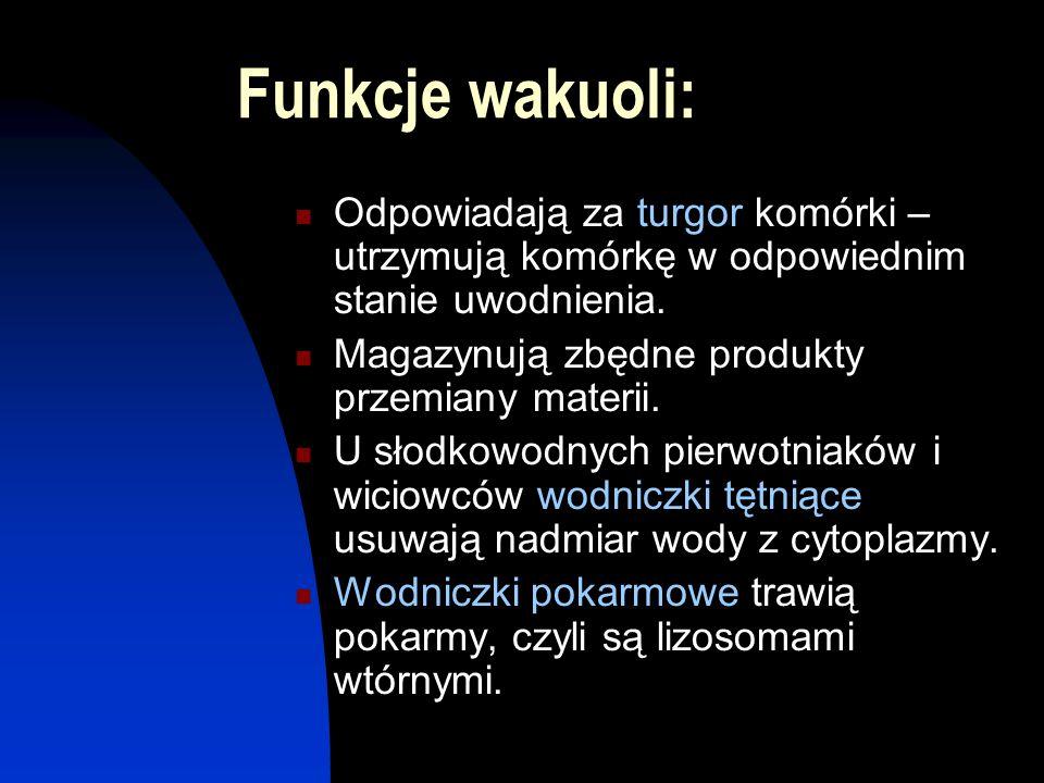 Funkcje wakuoli: Odpowiadają za turgor komórki – utrzymują komórkę w odpowiednim stanie uwodnienia. Magazynują zbędne produkty przemiany materii. U sł