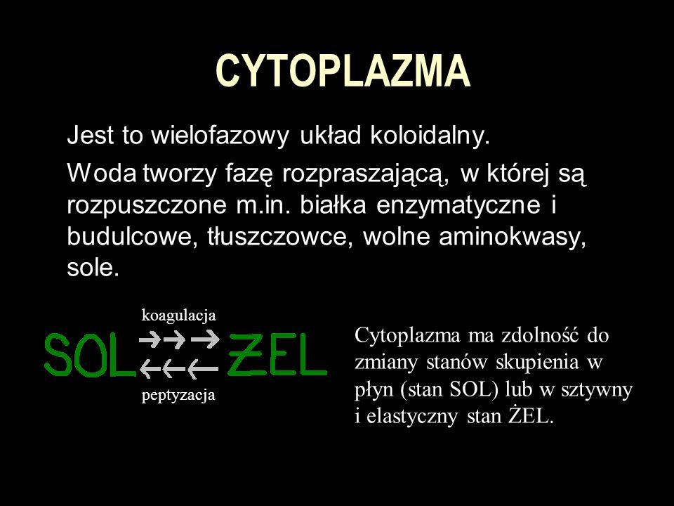 CYTOPLAZMA Jest to wielofazowy układ koloidalny. Woda tworzy fazę rozpraszającą, w której są rozpuszczone m.in. białka enzymatyczne i budulcowe, tłusz