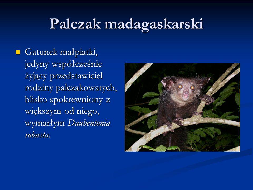 Palczak madagaskarski Gatunek małpiatki, jedyny współcześnie żyjący przedstawiciel rodziny palczakowatych, blisko spokrewniony z większym od niego, wymarłym Daubentonia robusta.