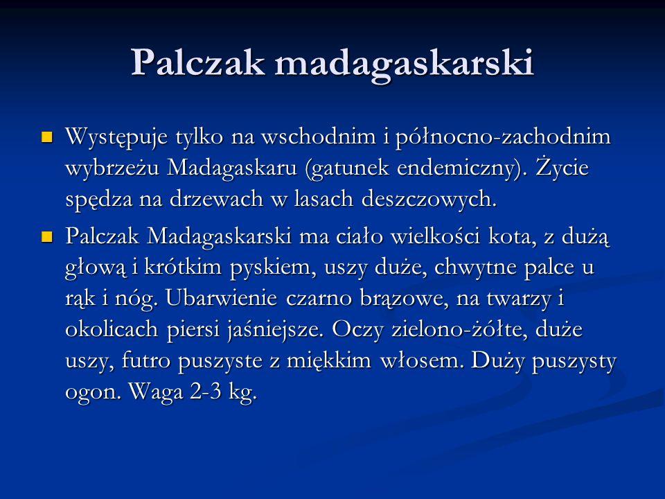 Palczak madagaskarski Występuje tylko na wschodnim i północno-zachodnim wybrzeżu Madagaskaru (gatunek endemiczny).