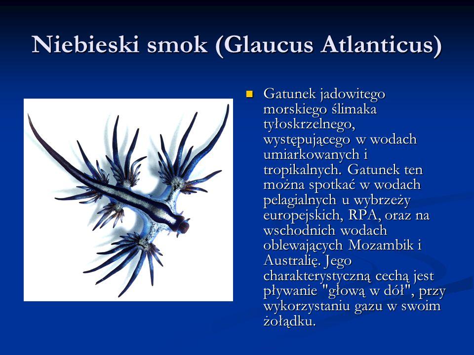 Niebieski smok (Glaucus Atlanticus) Gatunek jadowitego morskiego ślimaka tyłoskrzelnego, występującego w wodach umiarkowanych i tropikalnych.
