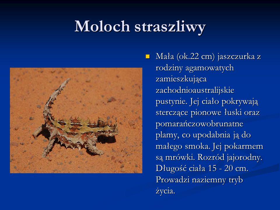 Moloch straszliwy Mała (ok.22 cm) jaszczurka z rodziny agamowatych zamieszkująca zachodnioaustralijskie pustynie.