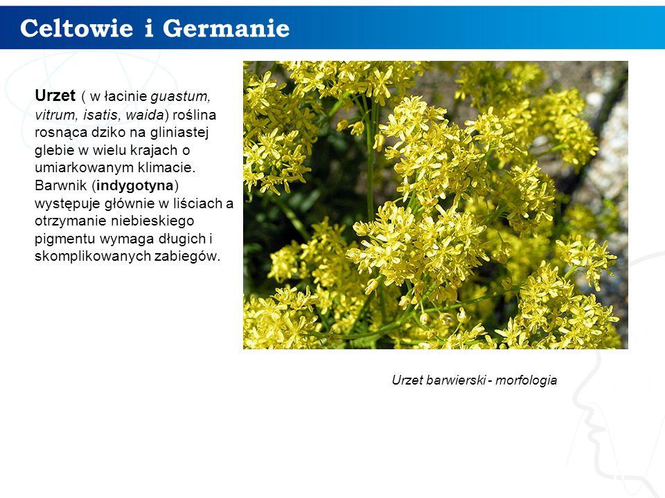 Celtowie i Germanie 6 Urzet ( w łacinie guastum, vitrum, isatis, waida) roślina rosnąca dziko na gliniastej glebie w wielu krajach o umiarkowanym klimacie.