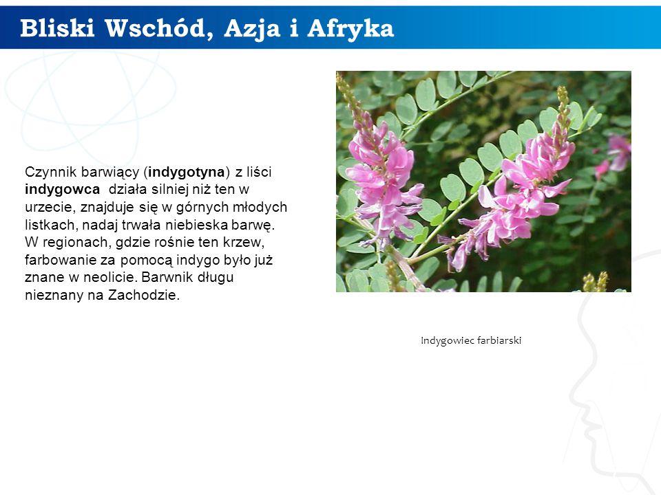 Bliski Wschód, Azja i Afryka 7 Czynnik barwiący (indygotyna) z liści indygowca działa silniej niż ten w urzecie, znajduje się w górnych młodych listkach, nadaj trwała niebieska barwę.