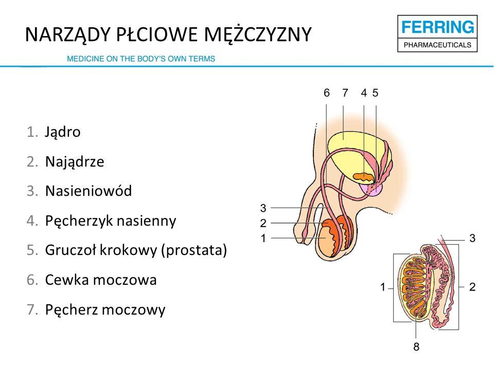 NARZĄDY PŁCIOWE MĘŻCZYZNY 1.Jądro 2.Najądrze 3.Nasieniowód 4.Pęcherzyk nasienny 5.Gruczoł krokowy (prostata) 6.Cewka moczowa 7.Pęcherz moczowy