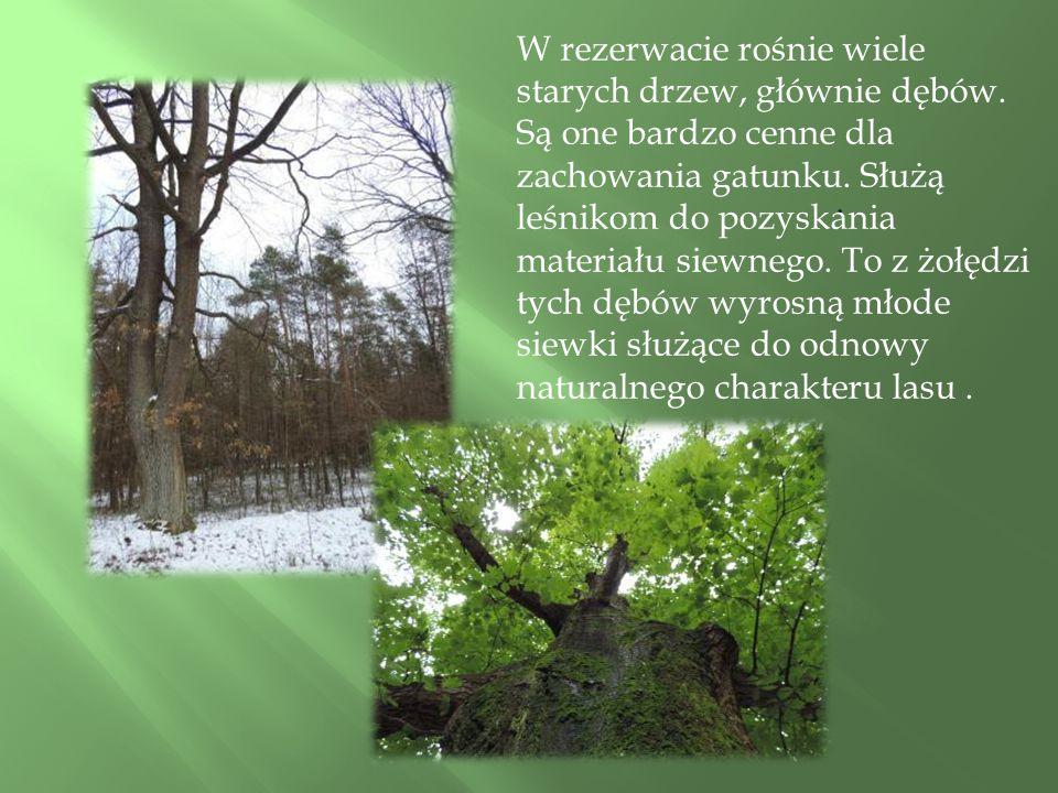 W rezerwacie rośnie wiele starych drzew, głównie dębów.