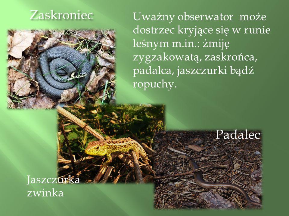 Zaskroniec Padalec Uważny obserwator może dostrzec kryjące się w runie leśnym m.in.: żmiję zygzakowatą, zaskrońca, padalca, jaszczurki bądź ropuchy.