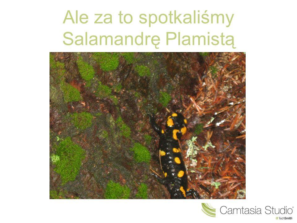 Ale za to spotkaliśmy Salamandrę Plamistą