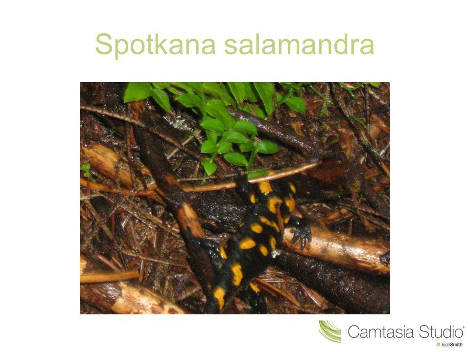 Spotkana salamandra