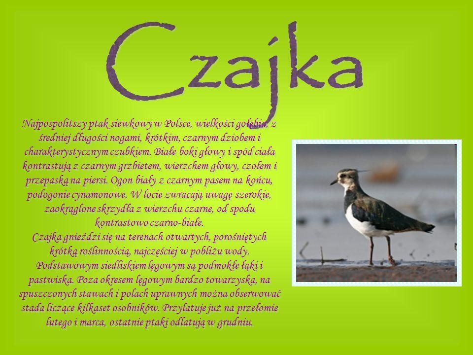 Najpospolitszy ptak siewkowy w Polsce, wielkości gołębia, z średniej długości nogami, krótkim, czarnym dziobem i charakterystycznym czubkiem. Białe bo