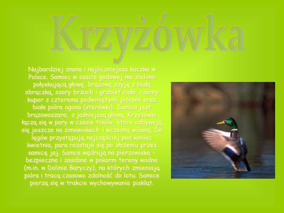 Najbardziej znana i najliczniejsza kaczka w Polsce. Samiec w szacie godowej ma zielono połyskującą głowę, brązową szyję z białą obrączką, szary brzuch