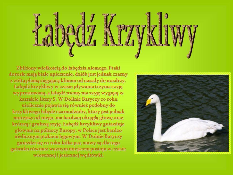 Zbliżony wielkością do łabędzia niemego. Ptaki dorosłe mają białe upierzenie, dziób jest jednak czarny z żółtą plamą sięgającą klinem od nasady do noz