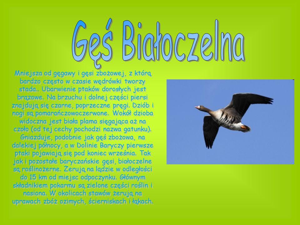 Mniejsza od gęgawy i gęsi zbożowej, z którą bardzo często w czasie wędrówki tworzy stada.. Ubarwienie ptaków dorosłych jest brązowe. Na brzuchu i doln