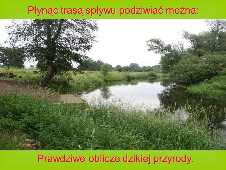 Płynąc trasą spływu podziwiać można: Prawdziwe oblicze dzikiej przyrody. Prawdziwe oblicze dzikiej przyrody.