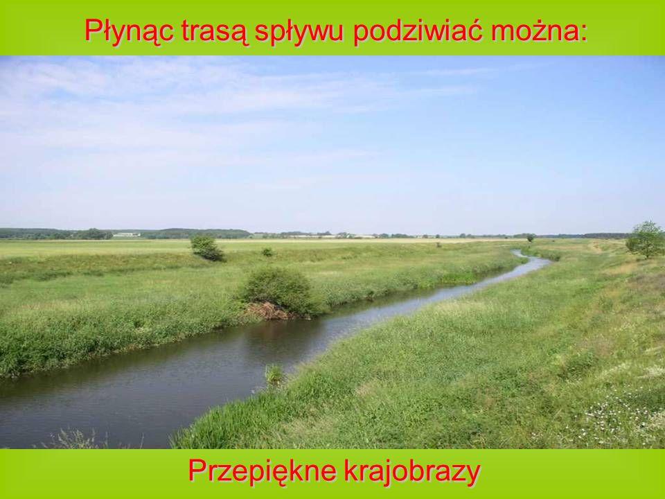 Płynąc trasą spływu podziwiać można: Niesamowite pomniki przyrody, w tym platan w Lechitowie- jedno z największych drzew województwa