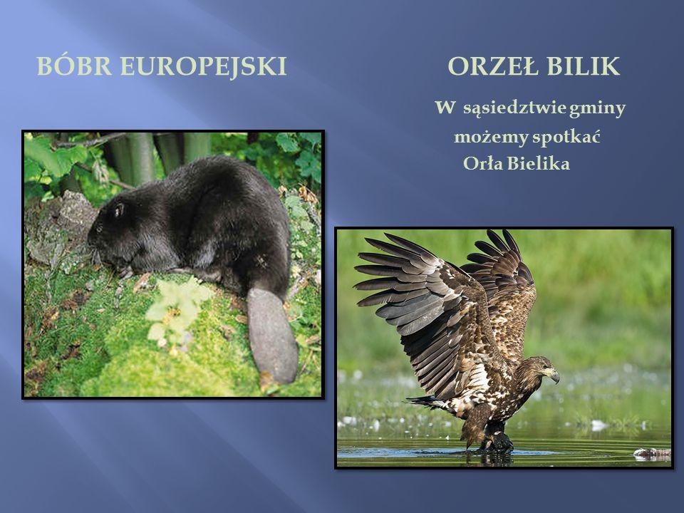 BÓBR EUROPEJSKI ORZEŁ BILIK w sąsiedztwie gminy możemy spotkać Orła Bielika