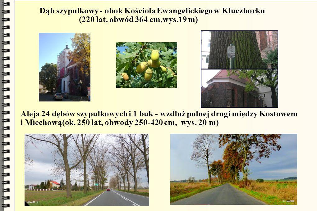 Dąb szypułkowy - obok Kościoła Ewangelickiego w Kluczborku (220 lat, obwód 364 cm,wys.19 m) Aleja 24 dębów szypułkowych i 1 buk - wzdłuż polnej drogi między Kostowem i Miechową(ok.