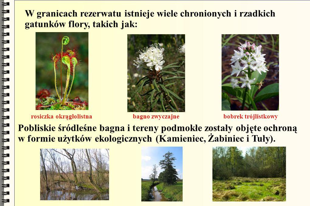 W granicach rezerwatu istnieje wiele chronionych i rzadkich gatunków flory, takich jak: rosiczka okrągłolistna bagno zwyczajne bobrek trójlistkowy Pob