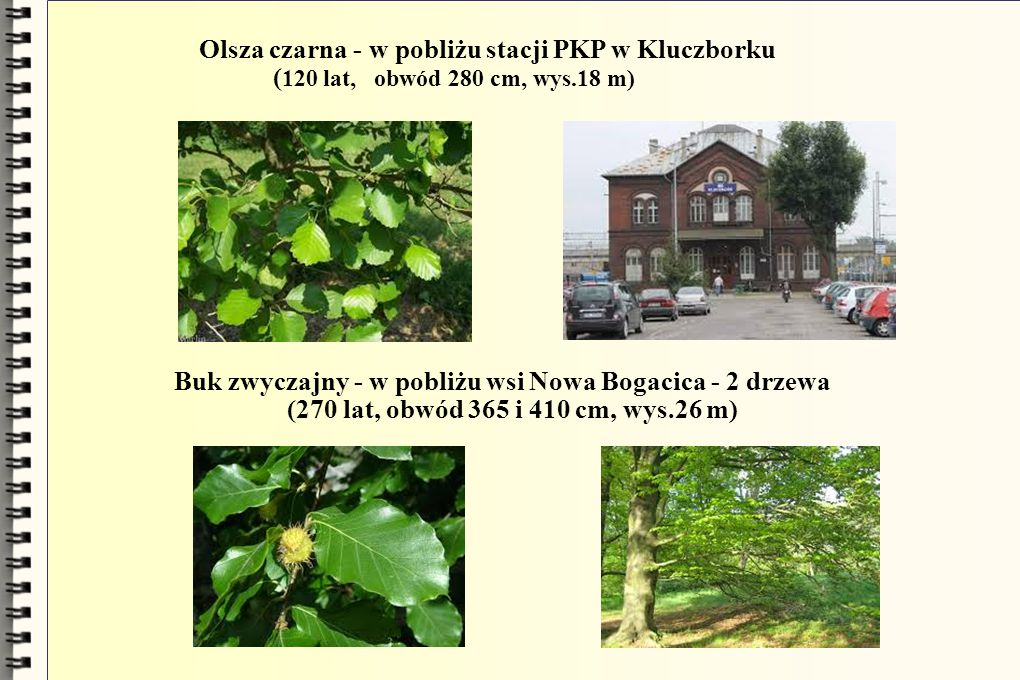 Olsza czarna - w pobliżu stacji PKP w Kluczborku ( 120 lat, obwód 280 cm, wys.18 m) Buk zwyczajny - w pobliżu wsi Nowa Bogacica - 2 drzewa (270 lat, obwód 365 i 410 cm, wys.26 m)