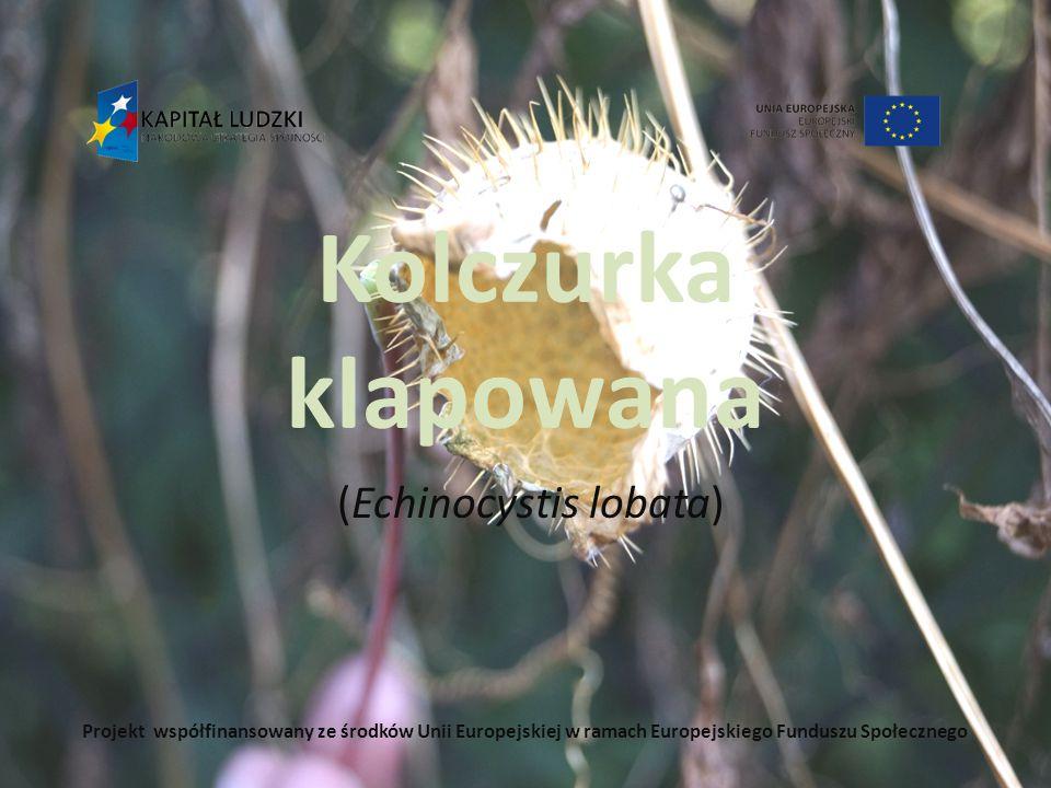 Kolczurka klapowana (Echinocystis lobata) Projekt współfinansowany ze środków Unii Europejskiej w ramach Europejskiego Funduszu Społecznego
