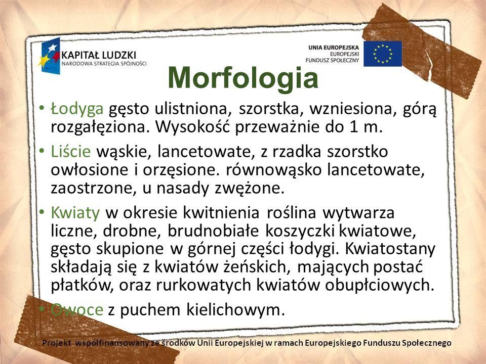 Morfologia Łodyga gęsto ulistniona, szorstka, wzniesiona, górą rozgałęziona. Wysokość przeważnie do 1 m. Liście wąskie, lancetowate, z rzadka szorstko