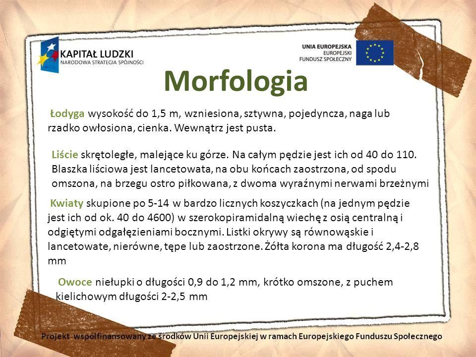 Morfologia Łodyga wysokość do 1,5 m, wzniesiona, sztywna, pojedyncza, naga lub rzadko owłosiona, cienka. Wewnątrz jest pusta. Liście skrętoległe, male