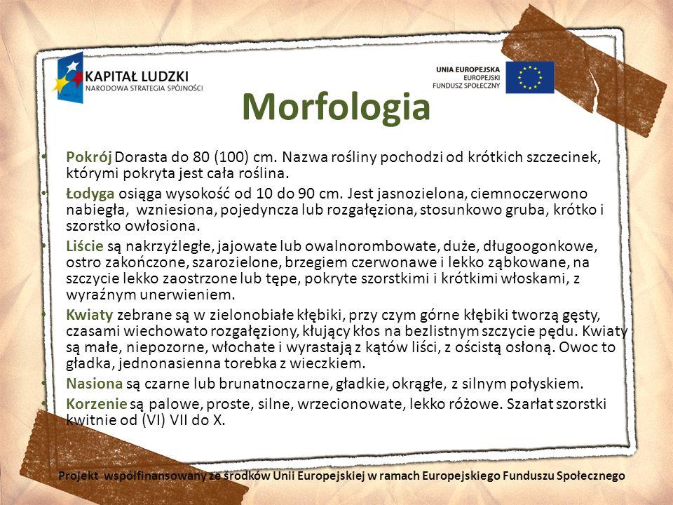 Morfologia Pokrój Dorasta do 80 (100) cm. Nazwa rośliny pochodzi od krótkich szczecinek, którymi pokryta jest cała roślina. Łodyga osiąga wysokość od