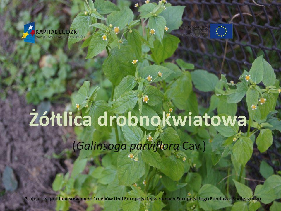 Żółtlica drobnokwiatowa (Galinsoga parviflora Cav.) Projekt współfinansowany ze środków Unii Europejskiej w ramach Europejskiego Funduszu Społecznego